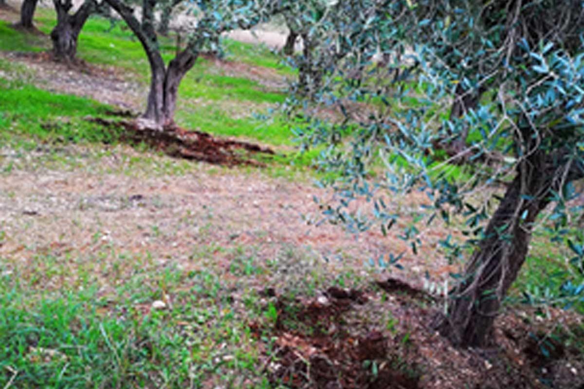 concimi per olivo