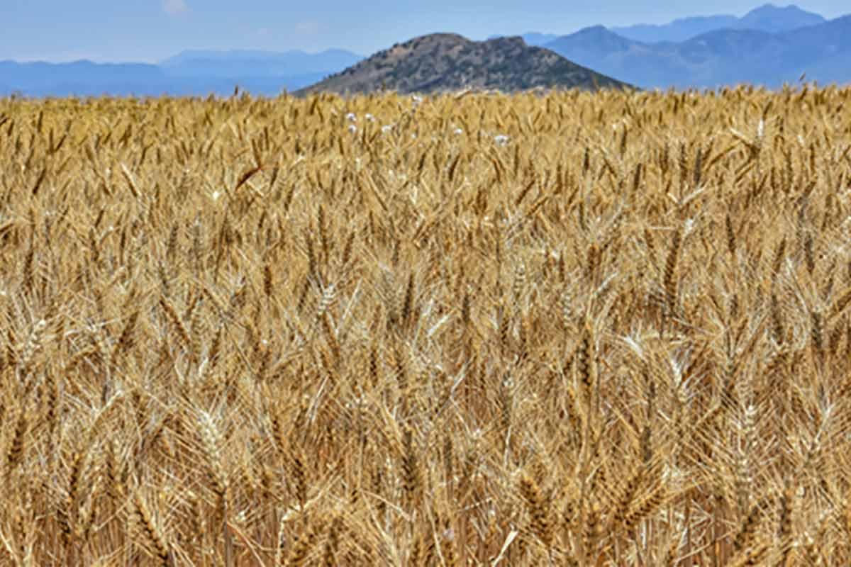 vendita concimi per grano